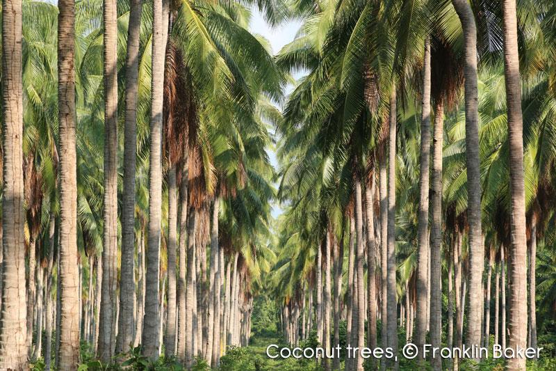 coconut-tree-img1